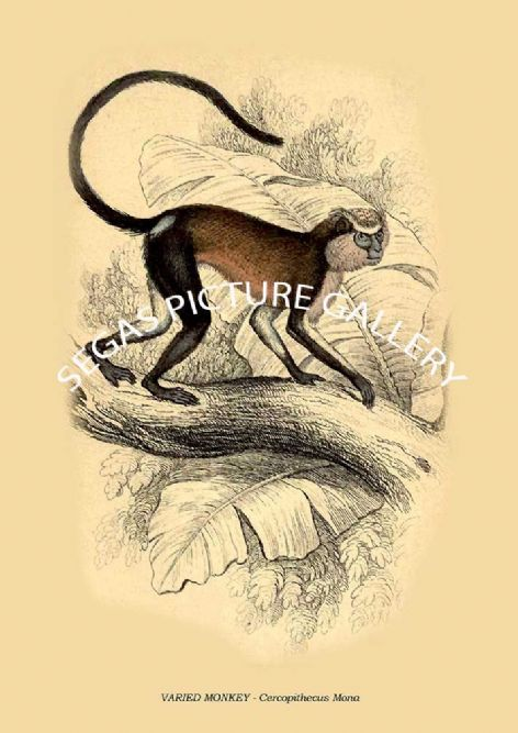 Fine art print of the VARIED MONKEY - Cercopithecus Mona by William Lizars
